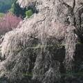Photos: 瀧のように:又兵衛桜09