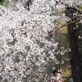 鳥さんの気分でお花見:蹴上インクライン桜08