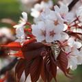 山桜:植物園桜09
