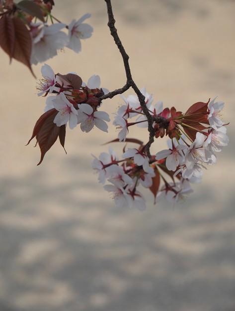 Photos: 影まで美し:植物園桜02