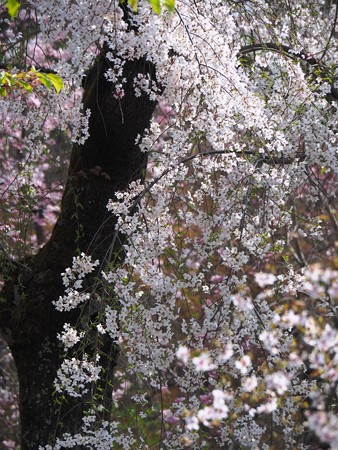春の煌き:植物園桜01