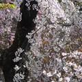 Photos: 春の煌き:植物園桜01