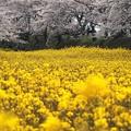黄色の海原:藤原京跡桜03