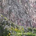 Photos: 春の彩り:又兵衛桜08