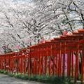 Photos: 朱塗り鳥居:丸高稲荷神社桜02