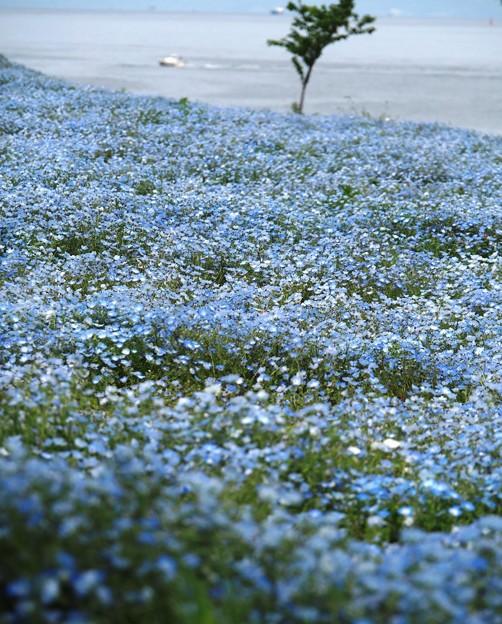 Photos: 何処までも青く:ネモフィラ01