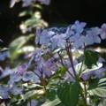 艶やかに咲く:紫陽花