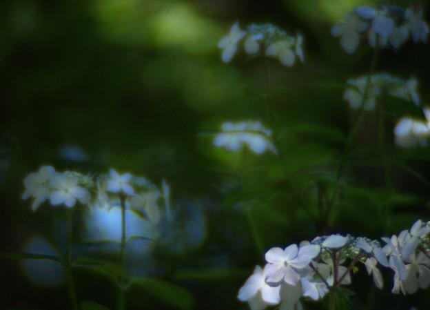 密やかに咲く:紫陽花