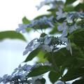 陽射し:紫陽花11