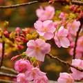 写真: 河津桜~逗子蘆花記念館