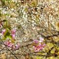 写真: 河津桜と白梅~逗子