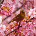 写真: 桜ジロ~新宿中央公園
