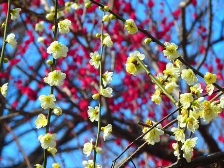 名城公園の梅