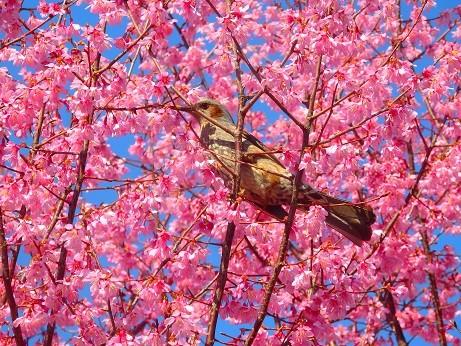 おかめ桜のヒヨドリ~新横浜