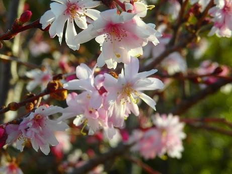 十月桜~福井