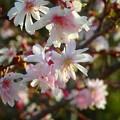 写真: 十月桜~福井