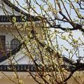 写真: 白梅~富山