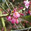 枝垂れ桜~鎌倉長勝寺