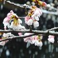 雪桜~逗子妙光寺