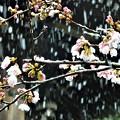 雪桜~逗子市