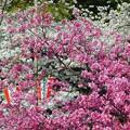 写真: 桜~上野公園
