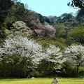 写真: 桜~逗子 池子の森