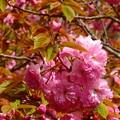 写真: 八重桜~逗子披露山公園