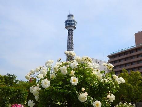 薔薇~山下公園