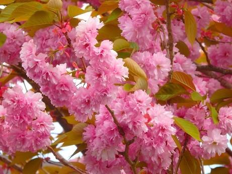 八重桜~箱根