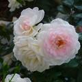 薔薇~北九州空港