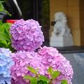紫陽花~ペニュンシュラ