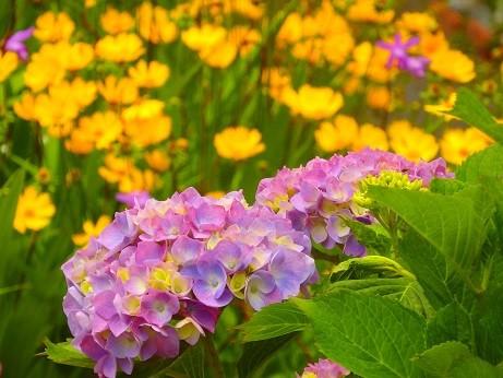 写真: 紫陽花~鎌倉市大町