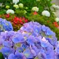 写真: 紫陽花~逗子披露山公園