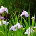 写真: 菖蒲~御殿山