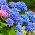 写真: 紫陽花~御殿山