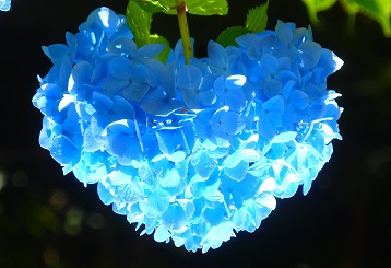 ハート紫陽花(逆さ)~逗子市久木