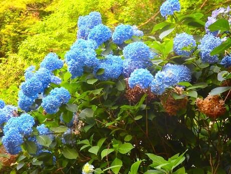 紫陽花~逗子蘆花公園