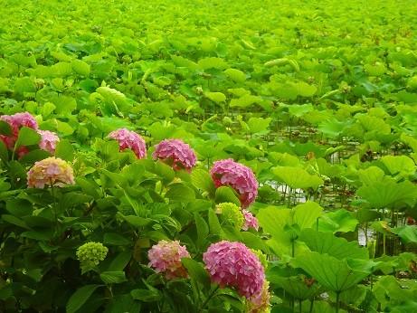 紫陽花~不忍池