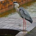写真: サギ~大濠公園