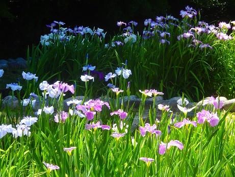 菖蒲~徳川庭園