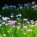 写真: 菖蒲~徳川庭園