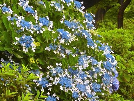 額紫陽花~井の頭公園