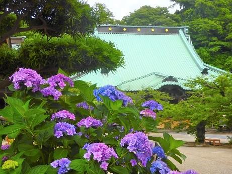 紫陽花~光明寺