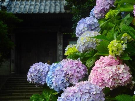 紫陽花~逗子 岩殿寺