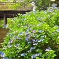 紫陽花~東慶寺
