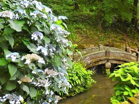紫陽花~浄智寺