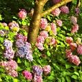 写真: 紫陽花~八景島