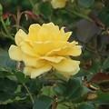 写真: 秋薔薇~ヴェルニー公園