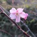 写真: 河津桜~逗子披露山公園