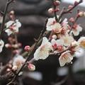 梅~鎌倉 極楽寺